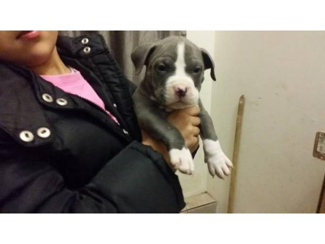 Pitbull Puppies For Sale 500 New York City Ny New York City
