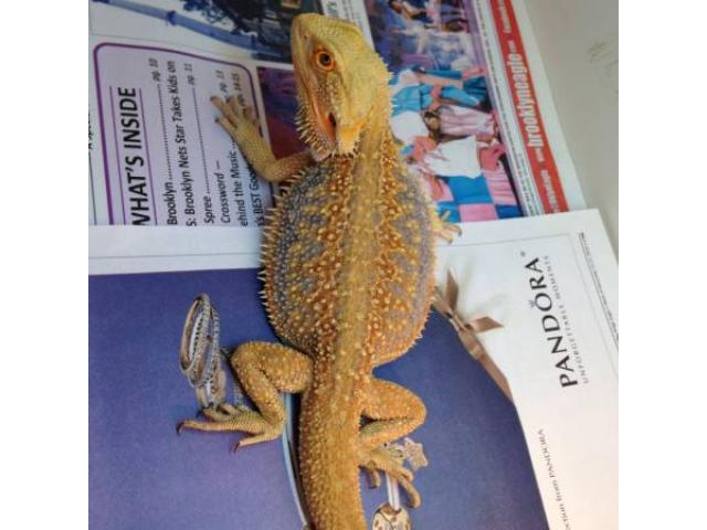 MORPH Bearded Dragons for Sale - $100 (Marine Park, NYC) New