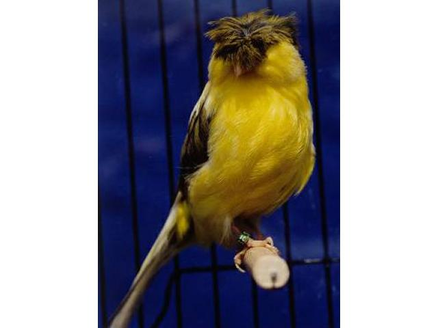russian canary birds crested gloster for sale - (forest ...