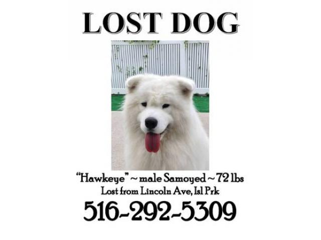 Samoyeds Dog Names Lost Dog 72 Lbs Samoyed