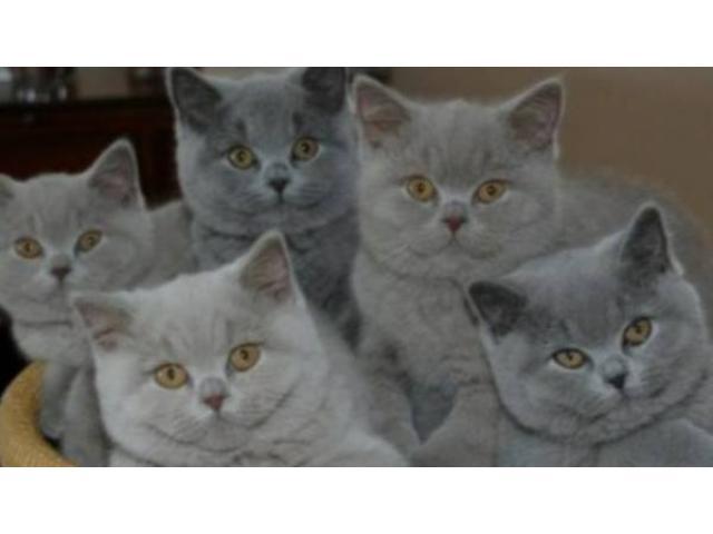 Scottish fold/ Russian Blue mix kittens for adoption ...
