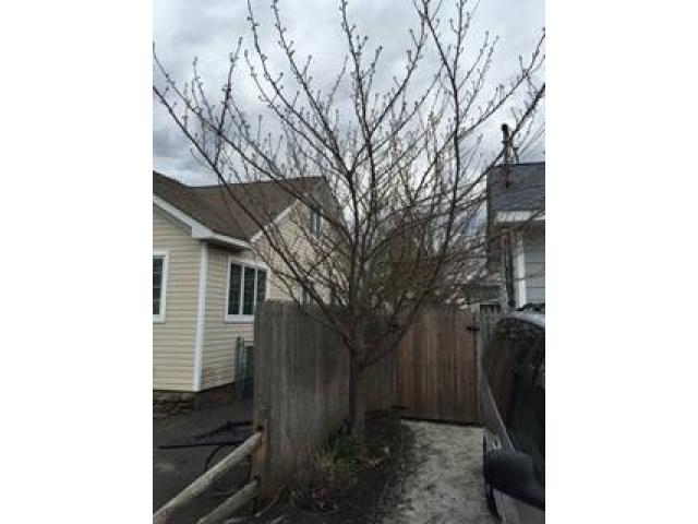 Kwanzan cherry trees for sale 16 20 feet 100 oakdale for Cherry trees for sale