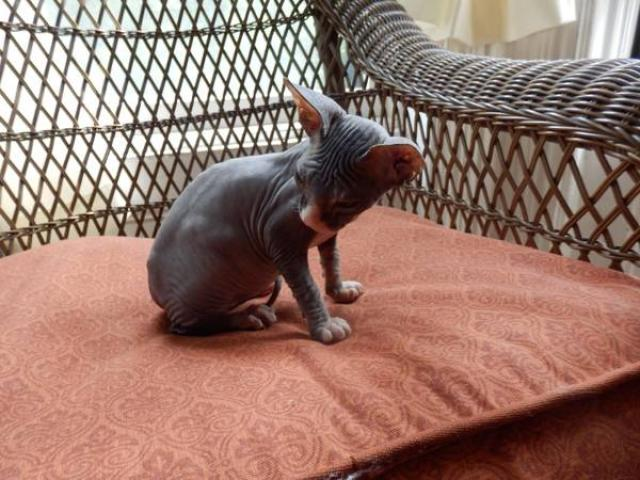 Sphynx Cat For Adoption Nyc